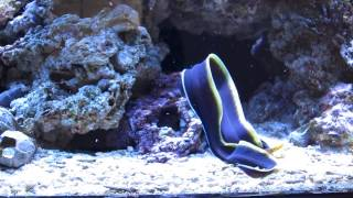 My 3 ribbon eels feeding with some help from the Goldentail Moray!