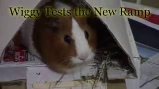Cute guinea pigs: Wiggy tests new ramp & begs for food