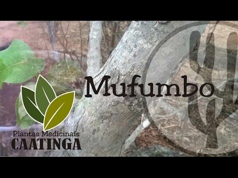 motumbo raiz funciona