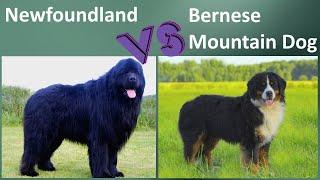 Newfoundland VS Bernese Mountain Dog  Comparison  Bernese Mountain Dog VS Newfoundland Differences