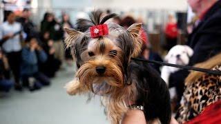 Названы десять самых популярных пород собак в США (новости)