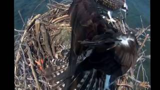 Chesapeake Bay Osprey Female, Audrey, Attacking Intruder Chick  2015 07 19 15 26 40 043