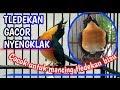 Burung Tledekan Gunung Gacor Nyengklak Cocok Untuk Mancing Bunyi Tledekangacor Tledekangununggacor  Mp3 - Mp4 Download