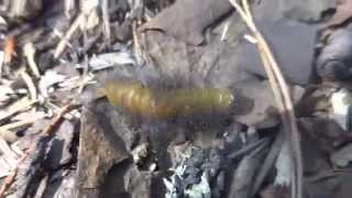 просто мохнатая гусеница спешит(, 2015-03-06T14:37:08.000Z)