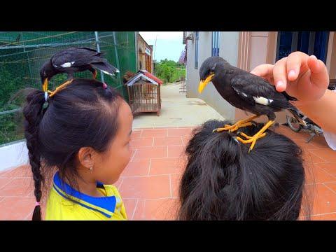 Mua Được Chim Sáo Non Quấn Người - Sửa Lại Bể Nuôi Cá Bảy Màu Sau Lần Đầu Thất Bại / Quế Nghịch