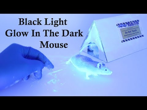 CSI Mouse -  Using Black Lights & The Rodent Tracker To Identify Access Holes. Mousetrap Monday