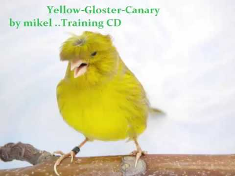 CANARY SINGING GLOSTER - Serinus canaria Traing CD