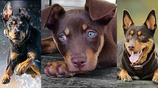 NEW Kelpie Video Compilation | Funny, Awesome & Cute Australian Cattle Dogs
