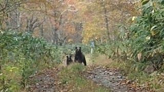 北海道秘境にてヒグマと遭遇20151018 Ezo Brown Bear