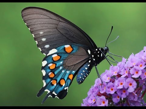 The world's most beautiful butterflies (HD) - YouTube  The world's...