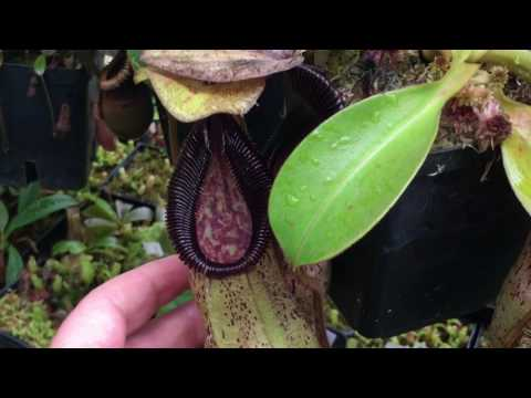 HUGE SPRING 2017  NEPENTHES PITCHER PLANT UPDATE: VILLOSA, CAMPANULATA, PERVILLEI AND MORE!