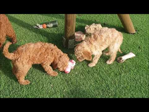 Socialisation and treats for cute Labradoodle puppys