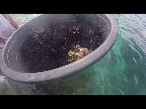 Bohol 2017 05-04@0805 Loon Basdacu Deep Sea Urchin Catching