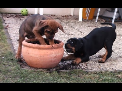 Rottweiler X Rhodesian Ridgeback Puppies at 7 to 10 weeks old