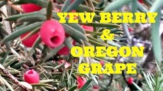 Yew Berry & Oregon Grape Review - Weird Fruit Explorer Ep. 122