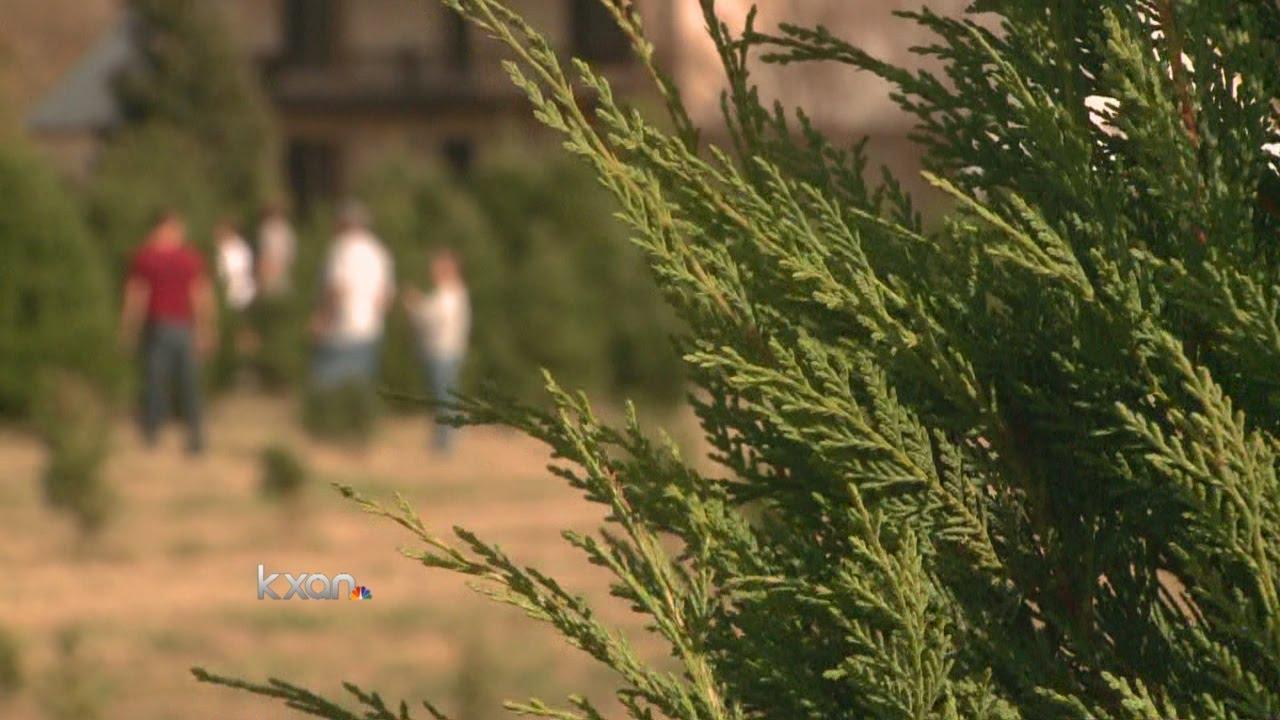 Elgin Christmas Tree Farm.Thousands Flock To Elgin Christmas Tree Farm