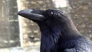 Sound of Crows, crow - sound effect, bird songs, Bird Songs sound effects