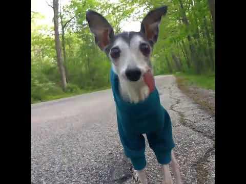 Zappa Italian Greyhound- Ridiculous