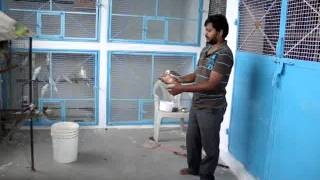 Taming African Lovebirds And Cocktiels -Harish Feather Farms