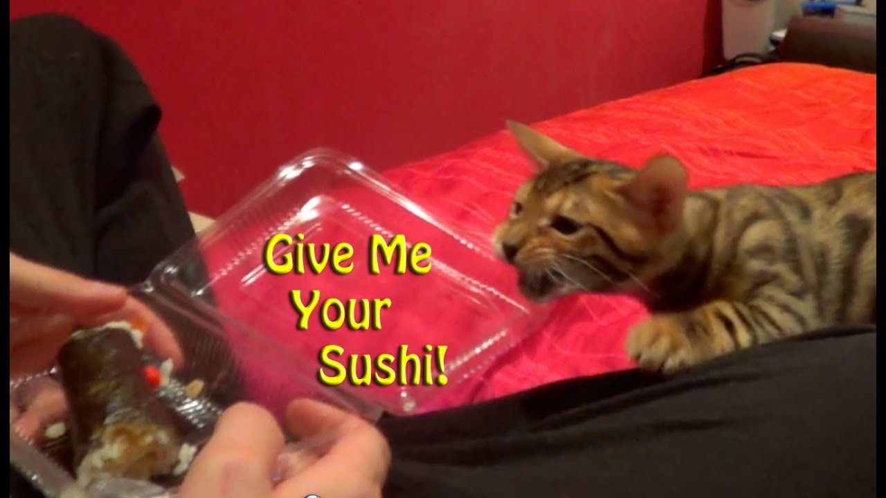 Cat Food Ratings >> Funny Bengal Cat- Tries to steal food - YouTube
