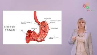 Физиология человека и животных. Пищеварение (Зыбина А. М.)
