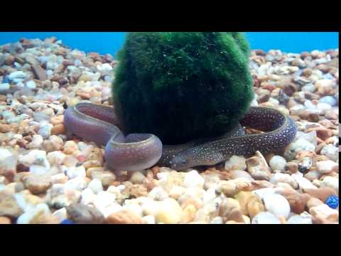 Freshwater eels at Pet Supermarket - May 26, 2016