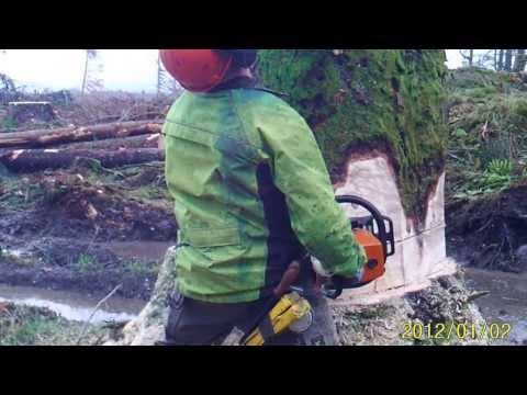 Felling Sitka Spruce with Stihl MS460