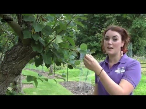 Summmer Pruning - A video guide to summer pruning fruit trees for beginners