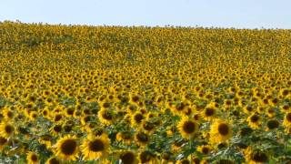 Maryland`s Sunflower Farm