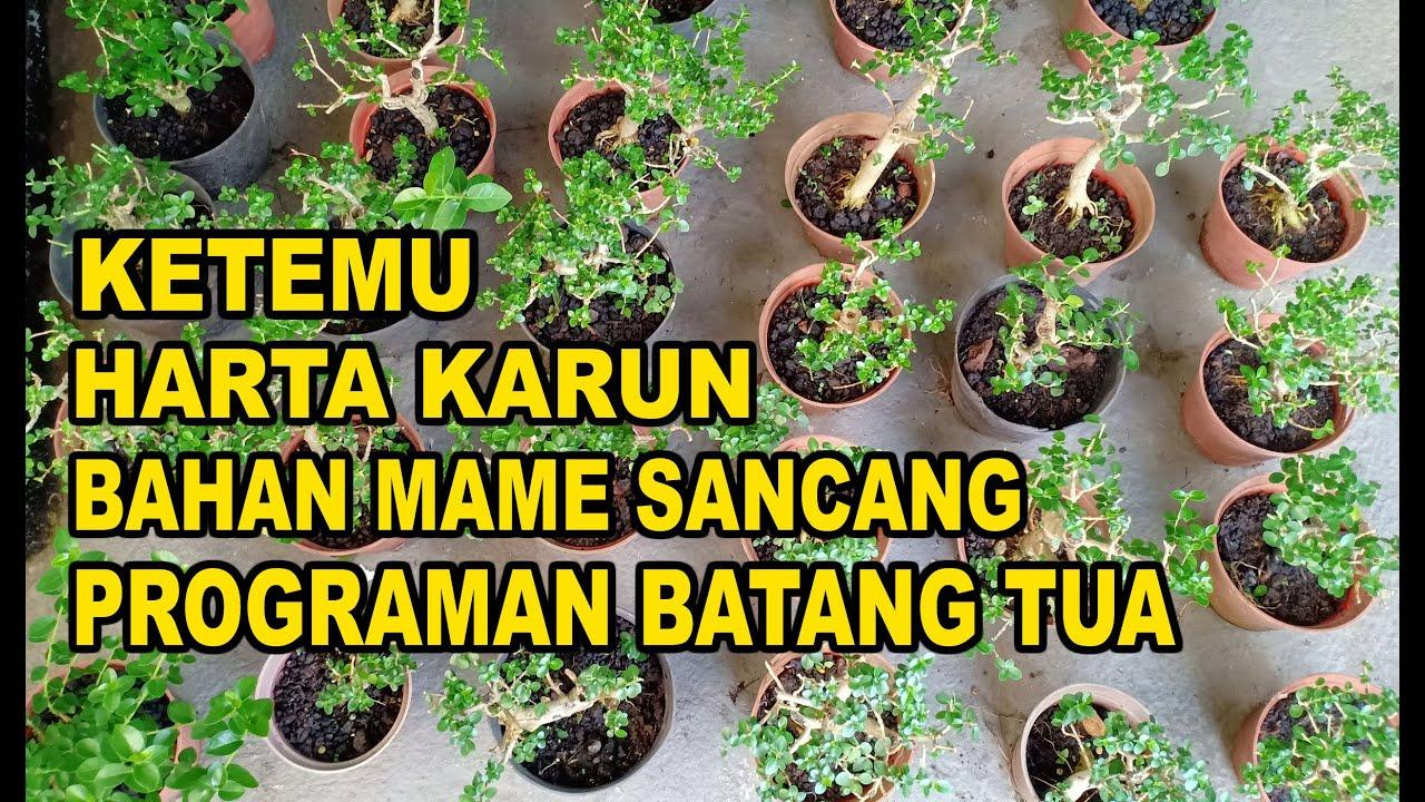 Borong Bahan Bonsai Mame Sancang