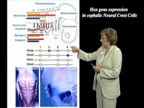 Nicole LeDouarin (Collège de France) Pt 2: The Role of the Neural Crest in Head Dev & Vertebrate Evo