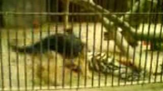 Tygrys i Pies