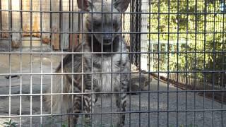 羽村市動物公園 キーパーズトーク シマハイエナ【ヨーコ】 Description of striped hyena