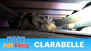 A scared Golden Retriever panics during this Hope For Paws rescue.