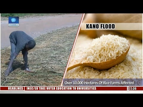 Kano Flood: Over 10,000 Hectares Of Rice Farms Affected