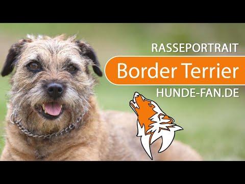 Border Terrier [2018] Rasse, Aussehen & Charakter