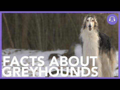 Interesting Facts About Greyhounds! - Dog Advice