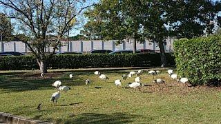 Bầy Chim Hạc Trong Công Viên