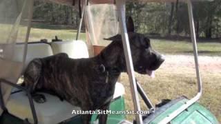 Sit Means Sit - Douglasville Dog Training Client Review - Great Dane