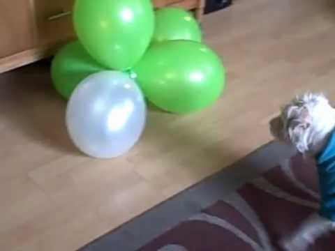 Jack Russell Pops Balloons
