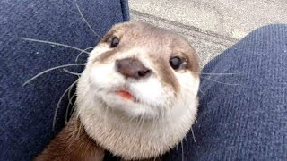 An otter that can't swim in the river due to bad weather and binge on fish! [Otter life Day 392]