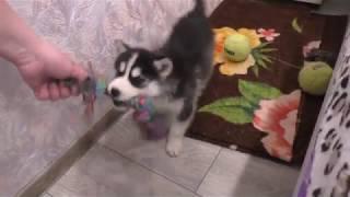 Щенок - агрессор отжал у бывалой собаки все игрушки.