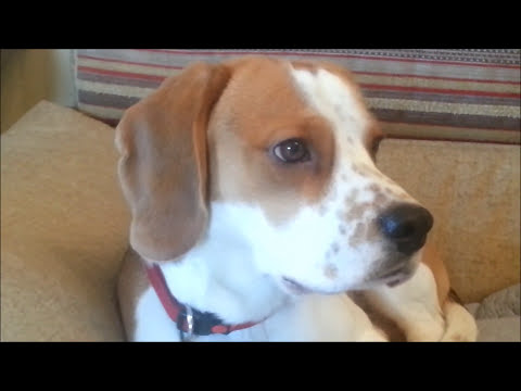 Smart Beagle Dog Brings Mail