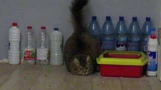 Алиса - чистоплотная кошка Закапывает не имея передних лап