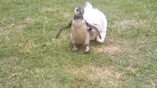 Así vivía en una casa de Calamuchita el pingüino de Magallanes rescatado por Policía Ambiental