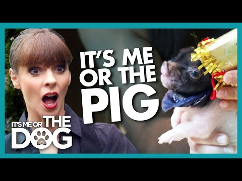 Can a Pig Be Trained? | It's Me or The Dog