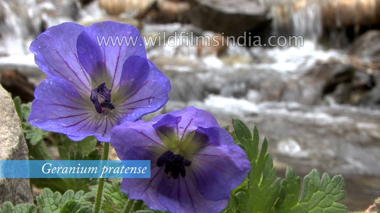 Beautiful flowers of the himalaya a rare collection youtube dhlflorist Images