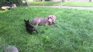 Weimaraner And French Bulldog Puppies Playing