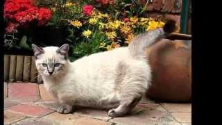 Скокум, или скукум (Skookum cat) породы кошек( Slide show)!