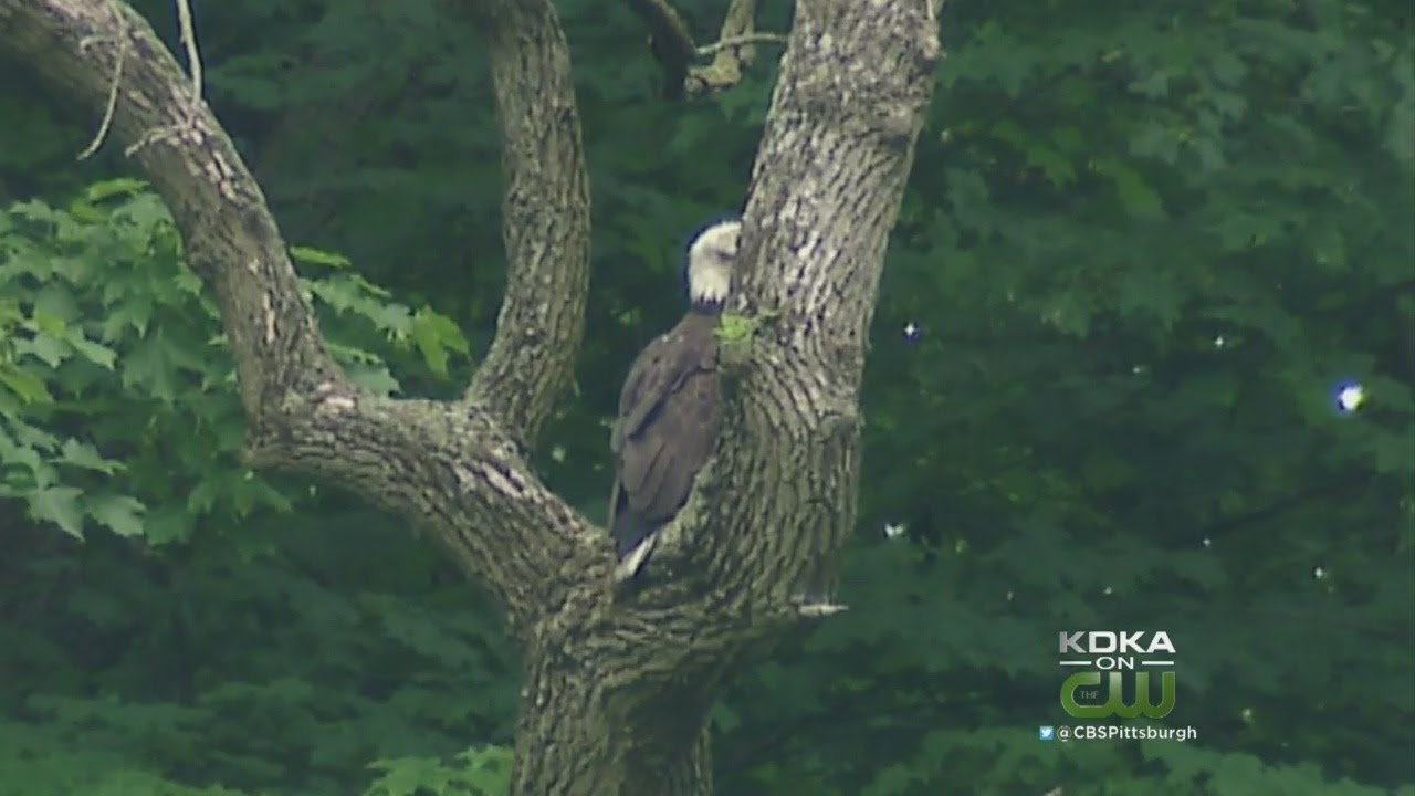 Pa  Game Commission: Increasing Number Of Bald Eagles Suffering From Lead  Poisoning